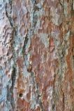 сосенка расшивы старая Стоковые Фотографии RF
