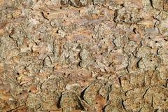 сосенка расшивы Стоковая Фотография RF