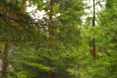 сосенка росы Стоковая Фотография RF