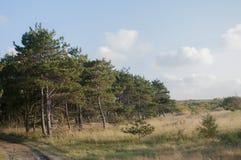 сосенка шотландская стоковое изображение rf