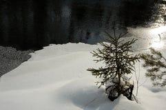 сосенка Стоковые Фото