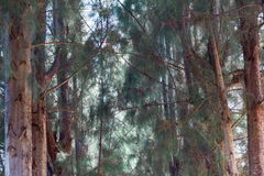сосенка Стоковое Фото