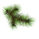 сосенка branche Стоковое Изображение RF