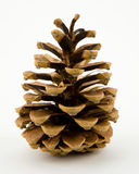 сосенка conifer конуса Стоковое Фото