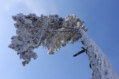 сосенка hoarfrost Стоковая Фотография RF
