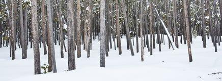 сосенка lodgepole Стоковая Фотография RF