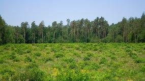 сосенки пущи поля Стоковая Фотография