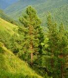 сосенки Сибирь кедра стоковая фотография