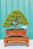 Сосна бонзаев против зеленой стены Стоковые Фотографии RF