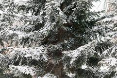 Сосна ветви дерева зимы снега Стоковые Фотографии RF