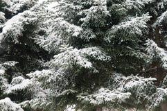 Сосна ветви дерева зимы снега Стоковые Фото