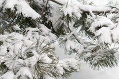 Сосна ветви дерева зимы снега Стоковое Фото