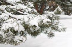 Сосна ветви дерева зимы снега Стоковые Изображения RF