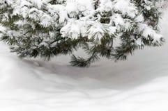 Сосна ветви дерева зимы снега Стоковое Изображение RF