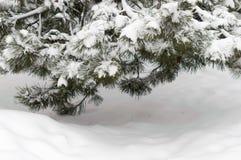 Сосна ветви дерева зимы снега Стоковые Изображения