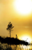 Сосна в густом тумане на зоре стоковое изображение rf