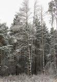 Сосна в лесе зимы Стоковые Фото
