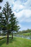 Сосна в саде и голубом небе Стоковые Изображения