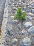 Сосна в середине улицы стоковая фотография rf