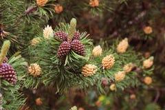 Сосна в цветя периоде Стоковые Изображения RF
