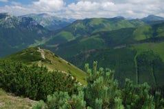 Сосна горы карлика Стоковые Фотографии RF