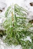 Сосна замерли концом, который молодая зеленая Стоковые Изображения