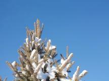 Сосна зимы Стоковые Изображения
