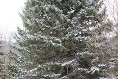 Сосна зимы стоковое изображение rf
