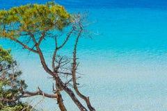 Сосна и бирюза мочат в пляже Pia Марии стоковое фото rf