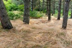 Сосна и высушенная трава Стоковое Изображение RF