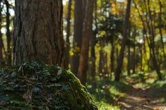 Сосна и идущая тележка в лесе Стоковые Фото