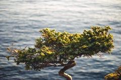 Сосна и океан Стоковые Изображения