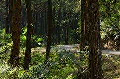 Сосна и дорога Стоковое Изображение RF