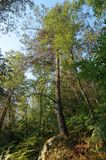 Сосна и папоротники в лесе Фонтенбло стоковые фотографии rf