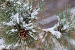 Сосна конуса снега Стоковое Изображение