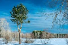 Сосна ландшафта зимы стоковые фото