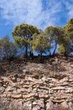 Сосна моря на утесе стоковое фото rf