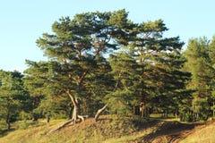 Сосна на береге Lake Peipus, природы, леса, дерева на береге Стоковая Фотография RF