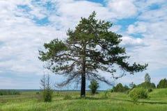 Сосна на краю поля Стоковая Фотография RF