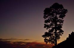 сосна на наступлении ночи Стоковые Фото