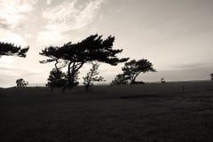 Сосна на побережье Стоковая Фотография RF