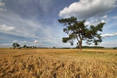 Сосна на поле Стоковые Изображения