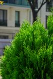 Сосна на саде весны стоковое фото