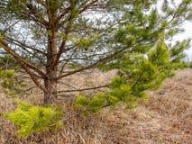 Сосна на сухой траве Стоковые Изображения