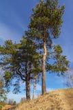 Сосна на холме Стоковые Фотографии RF