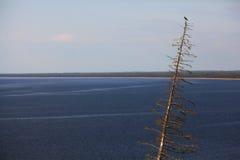 Сосна перед большим озером Стоковые Изображения