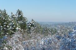 Сосна под снегом в лесе Фонтенбло стоковые фото