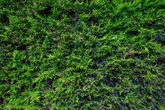 Сосна покидает текстура Стоковое Изображение RF
