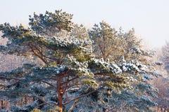 Сосна покрытая с снегом в лесе зимы стоковая фотография