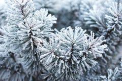Сосна предусматриванная с заморозком Стоковая Фотография RF